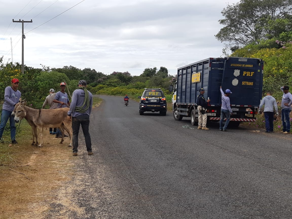 Até o momento, 14 animais foram apreendidos pela Polícia Rodoviária Federal do Piauí.